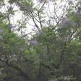 ジャカランダの花 大倉山でも咲いています