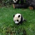 パンダの子供のようですね