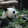 豪快に竹を食べるパンダ