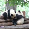子供のパンダ2頭 発見