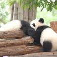 しばし一緒に遊ぶパンダでした