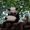 抑え込むパンダの子供