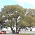 戦場公園に佇む大木