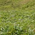 チシマフウロの群生