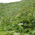 スカイ岬 植物群生