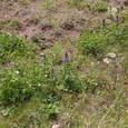 スコトン岬の花