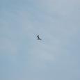 カモメ 悠然と飛ぶ