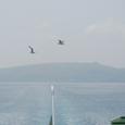 礼文島とカモメ