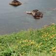 断崖に咲くエゾカンゾウ
