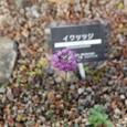 イワツツジ 花はヤマラッキョウ