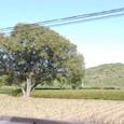二子山古墳と巨木