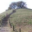 丸墓山古墳 北側から桜の木を仰ぐ