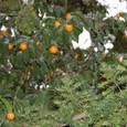 橘の実 みかん
