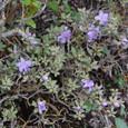 紫の花が咲いている
