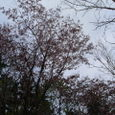 山桜でしょうか