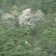 丹陽からソウルへの道 桜