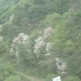 南漢江(ナマンガン)上流 桜