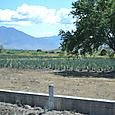 龍舌蘭の畑です