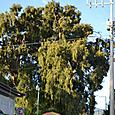 Tuleの木
