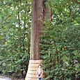 外宮境内の巨木