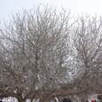 ヒサルルクの丘のイチジクの木