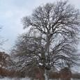 トロイの巨木