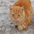 トロイのノラ猫 雪でもガンバル