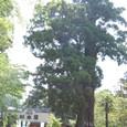 樹齢800年 杉 巨樹・古木