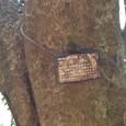 アカガシの古木
