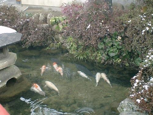 津和野 鯉風景(1)