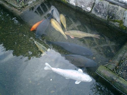 津和野 鯉風景(2)