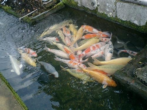 津和野 鯉風景(3)