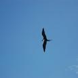 ペリカンが飛ぶ