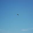 上空を飛ぶペリカン