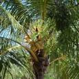 椰子の実でしょうか