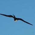 美しい飛行のコグンカンドリ