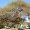 アユタヤ最大の菩提樹
