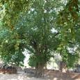 仏塔を抱えた菩提樹