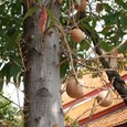 沙羅双樹の実