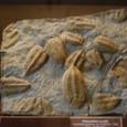 古生代の代表 三葉虫