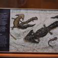 奇妙な両生類 サンショウウオの先祖か