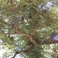玉林寺 椎の木