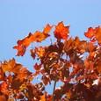 シュガーメープルの紅葉